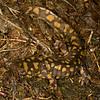 Ambystoma tigrinum (Tiger Salamander) from Dave's Pond, Vigo Co., IN