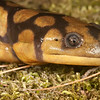 Tiger Salamander from Clark Co., Illinois